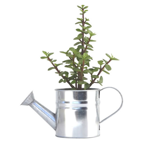 Jade Money Tree in Small White Watering Can