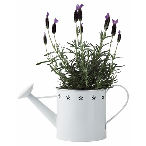 Lavender in Large White Watering Can