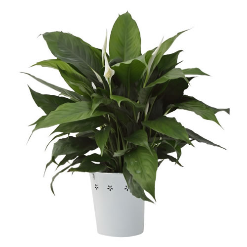 Peace Lily in White Flower Bucket