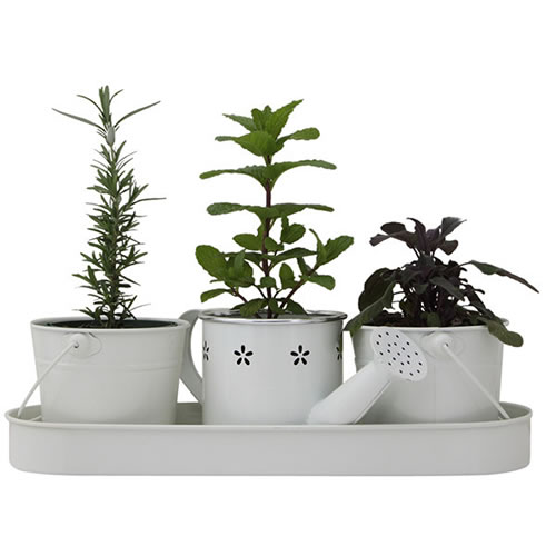 Pick of the Day Herbs in White