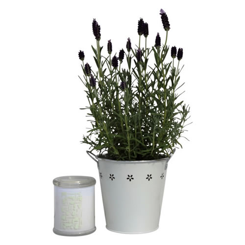 Lavender Plant and Candle Gift