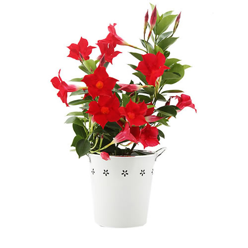 Mandevilla Flower Pot